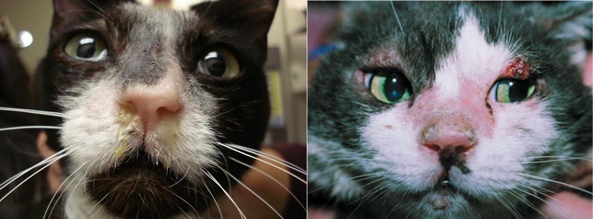 Gatos con linfoma nasal y cutáneo